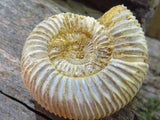 Natural White Spinned Ammonites x 6 from Mahaganja, Madagascar - TopRock