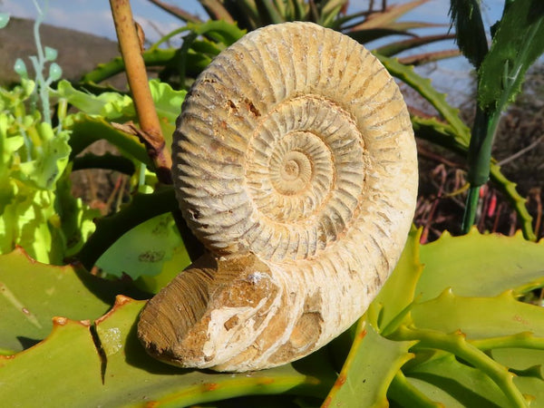 Natural White Spined Ammonite Fossils x 6 from Madagascar
