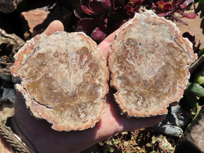 Polished Petrified Wood Slices x 6 from Madagascar