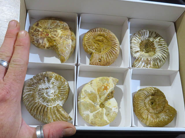 Rough Mixed Ammonites x 6 from Madagascar