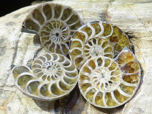 Cut & Polished A Grade Small Ammonite Pairs x 35 from Tulear, Madagascar