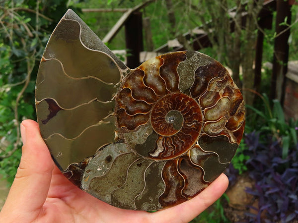 Polished Cut & Polished Ammonite Cleoniceras With Ammolite Fossil Pairs x 2 From Tulear, Madagascar