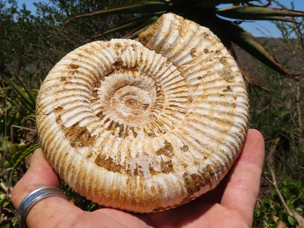 Natural Large White Spine Ammonite Coquille Blanc Fossils x 2 from Madagascar