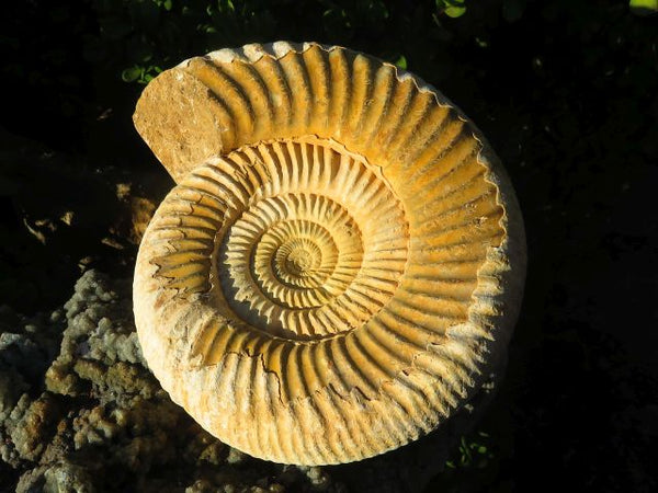 Extra Large Natural White Spined Ammonite x 1  from Morondava, Madagascar