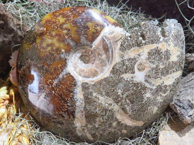 Polished Large Jigsaw Ammonite x 1  from Madagascar - TopRock