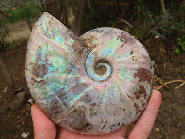 Natural Iridescent Cleoniceras Ammonite Rough Fossil Specimens x 2 from Tulear, Madagascar