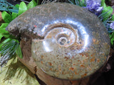 Polished Large Jigsaw Ammonite x 1  from Tulear, Madagascar - TopRock