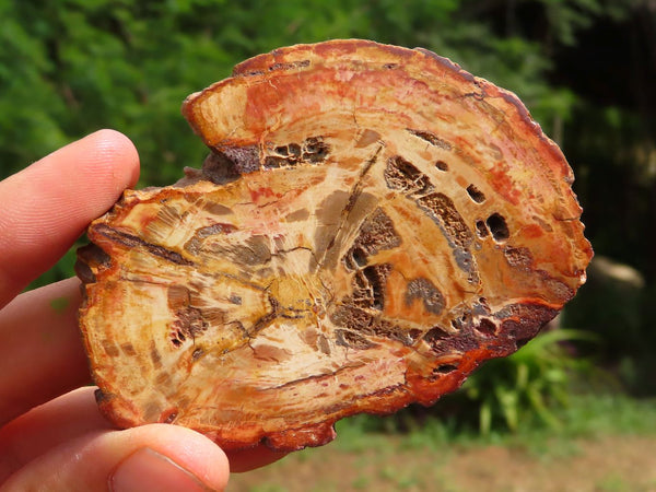 Polished Medium Sized Petrified Wood Plaques x 12 from Mahajanga, Madagascar