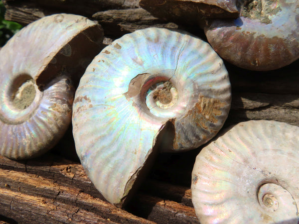 Natural Small Iridescent Ammonite Fossils x 12 From Madagascar