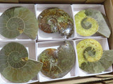 Fossil Mixed Large Ammonites x 6 from Tulear, Madagascar