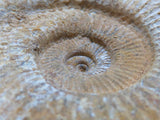 Natural White Spinned Ammonites x 6 from Mahajanga, Madagascar - TopRock
