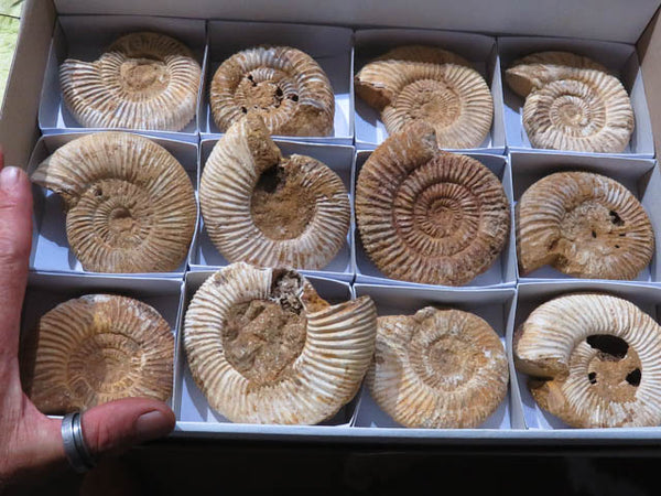 Natural White Spinned Ammonites x 12 from Mahajanga, Madagascar