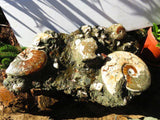 **olished & Natural XXL Fossil seabed conglomerate show piece x 1 from Maintirano, Madagascar