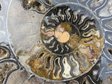1 XL cut and polished black ammonite pair - TopRock