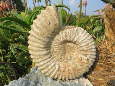 1 Rough spined large ammonite - TopRock