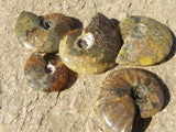Small Whole Polished Ammonites(Sold per 500 grams) from Madagascar
