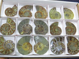 Cut & Polished Ammonite Halves x 15 from Madagascar, Tulear - TopRock