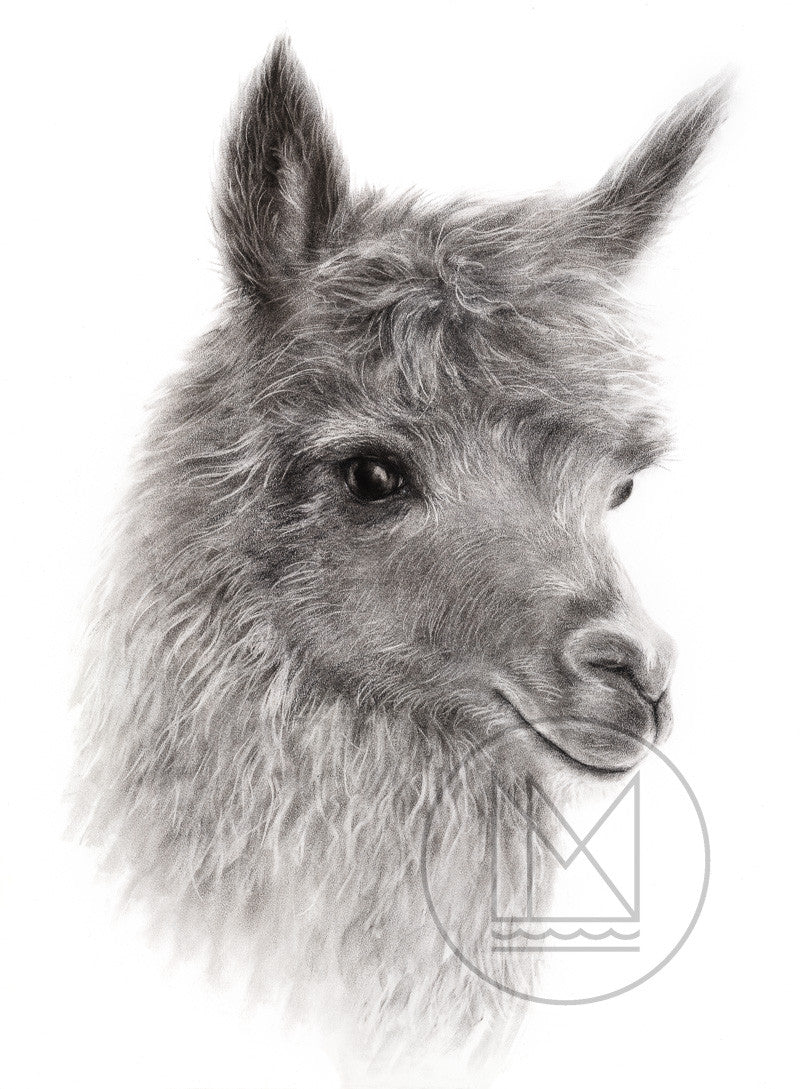Alpaca Charcoal Drawing