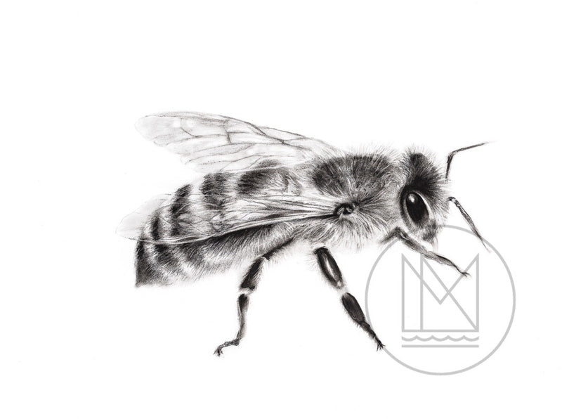 Honey Bee Charcoal Drawing