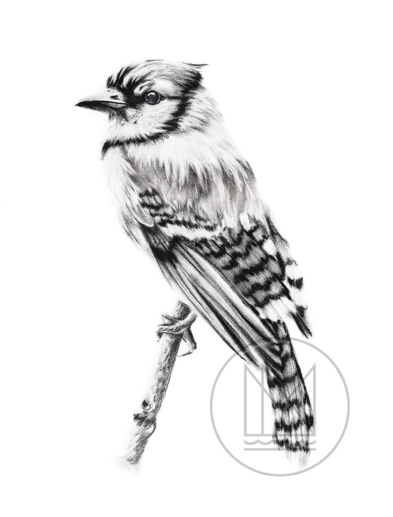 Blue Jay on A Branch Charcoal Drawing