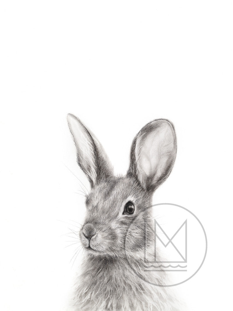 Cottontail Rabbit Charcoal Drawing - Popping up from Below