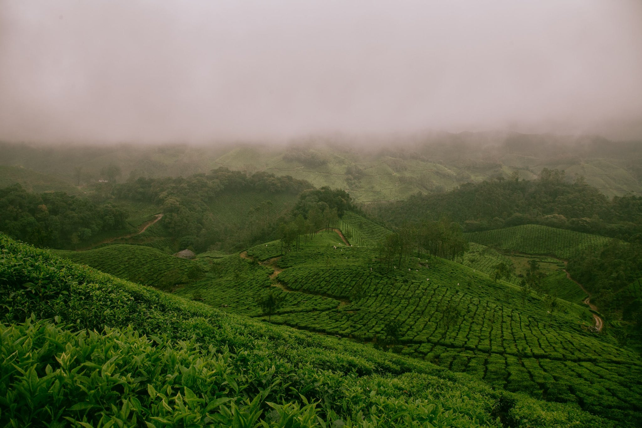 Foggy field of loose leaf tea