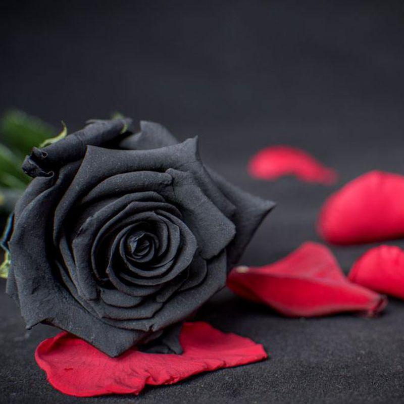 Picture of a black rose for Do black roses really exist