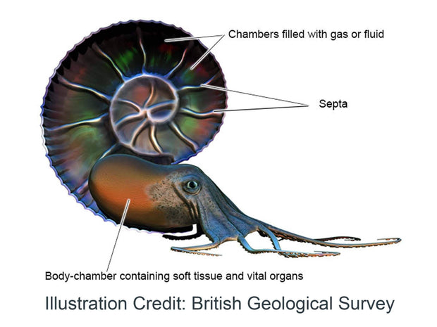 Ammonite Diagram British Geological Survey [Ontogenie Science Jewelry]