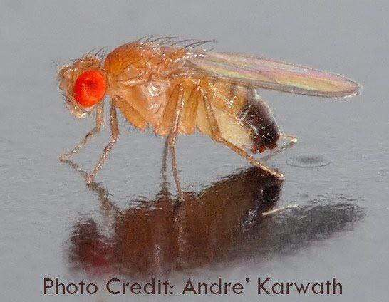 Drosophila photo