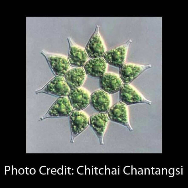 pediastrum colonial algae micrograph