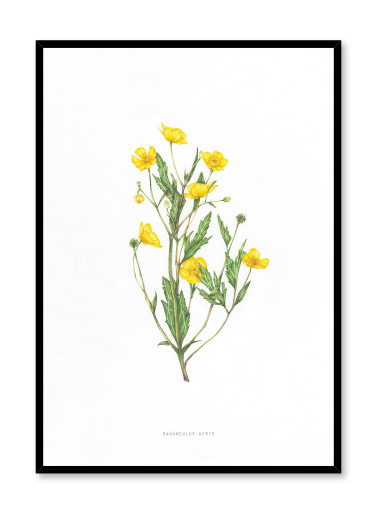 Modern minimalist poster by Opposite Wall with encyclopedic illustration of Ranunculus Acris