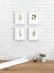 Modern minimalist poster by Opposite Wall with encyclopedic illustration of Ginkgo Biloba, Ficus Religiosa, Sisyrinchium Montanum and Ranunculus Acris - personal office