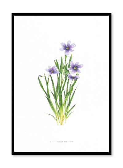 Modern minimalist poster by Opposite Wall with encyclopedic illustration of Sisyrinchium Montanum