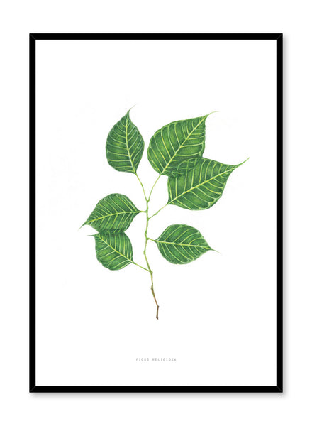 Modern minimalist poster by Opposite Wall with encyclopedic illustration of Ficus Religiosa