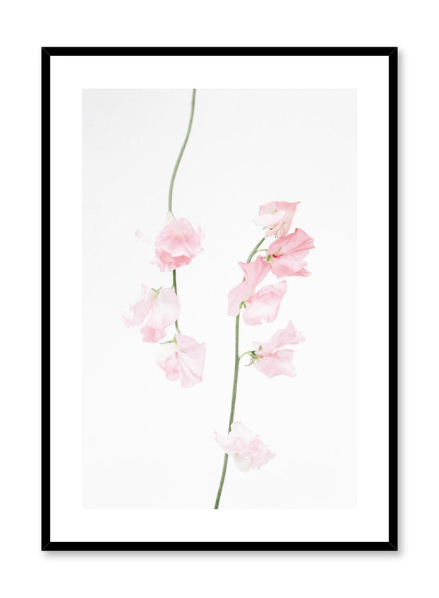 Minimalistic wall poster by Opposite Wall with dusty pink sweet pea floral photography