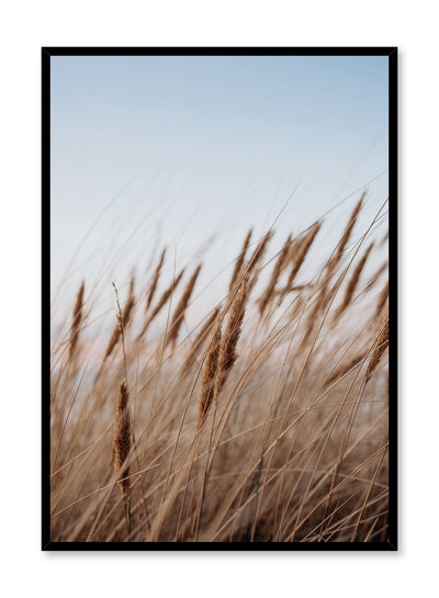 """Prairie Feathers"" is a botanical photography poster by Opposite Wall of rich blond cereal grasses swaying in the golden hour under a clear blue sky."