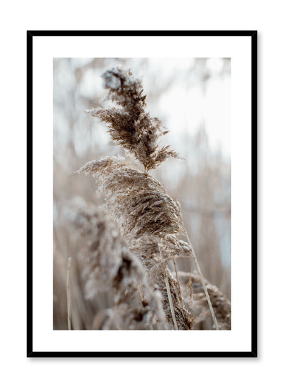 """Wintry Plumes"" is a botanical photography poster by Opposite Wall of fluffy pampas grasses in a cold climate setting."