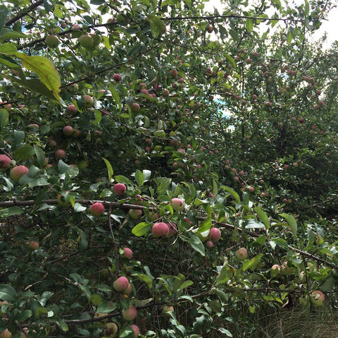 Lost Orchard Harvest 2016