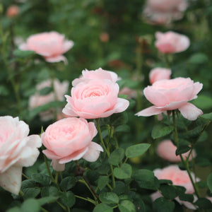 "Episode  9 ""Michael Marriott of David Austin Roses"""