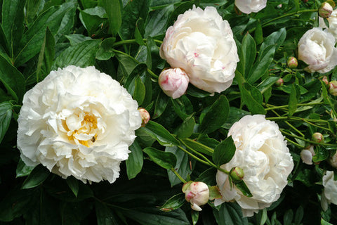 Curated Peony Garden