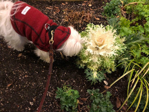 dog-sniffing-flowering-cabbage