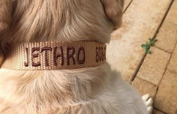 Light Brown Dog ID Collar on Jethro