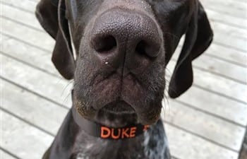Duke wearing his personalized dog collar