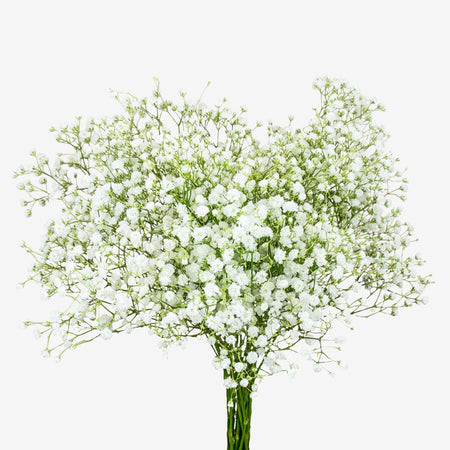 Large Gyp (Baby's Breath) Bouquet - White