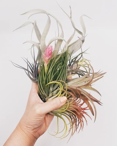 Air Plant Dating Profiles