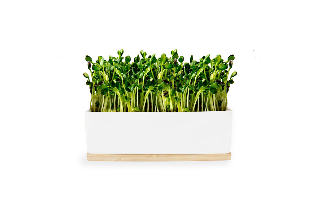 SUNFLOWER SPROUTS MINI GARDEN