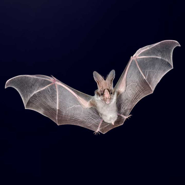 Adopt Ugly ❤ Ghost Bat