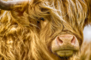 Some Things You Need to Know About the Highland Cow