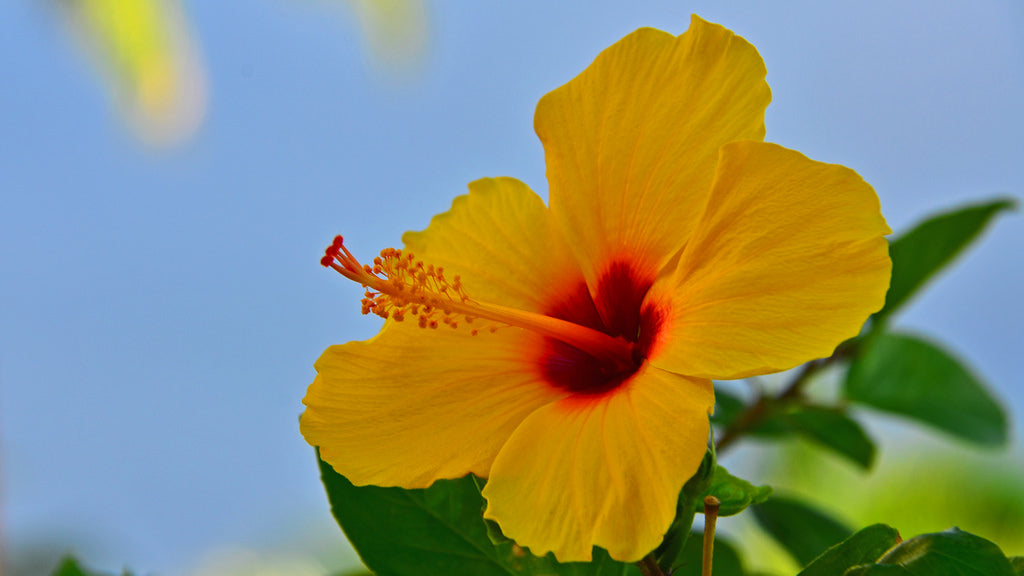Why Is Hibiscus A Hawaii Flower Symbol Love The World 1sttheworld
