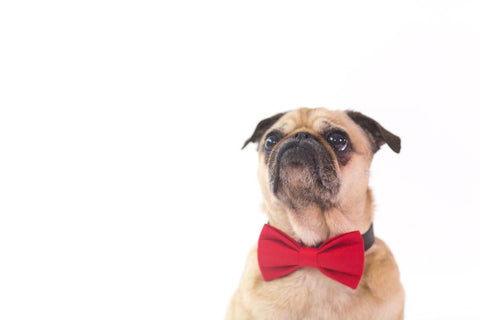 Dog Treat logo with pug wearing red bow pet essentials